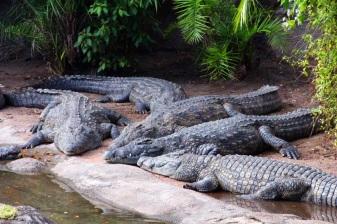 crocdiles